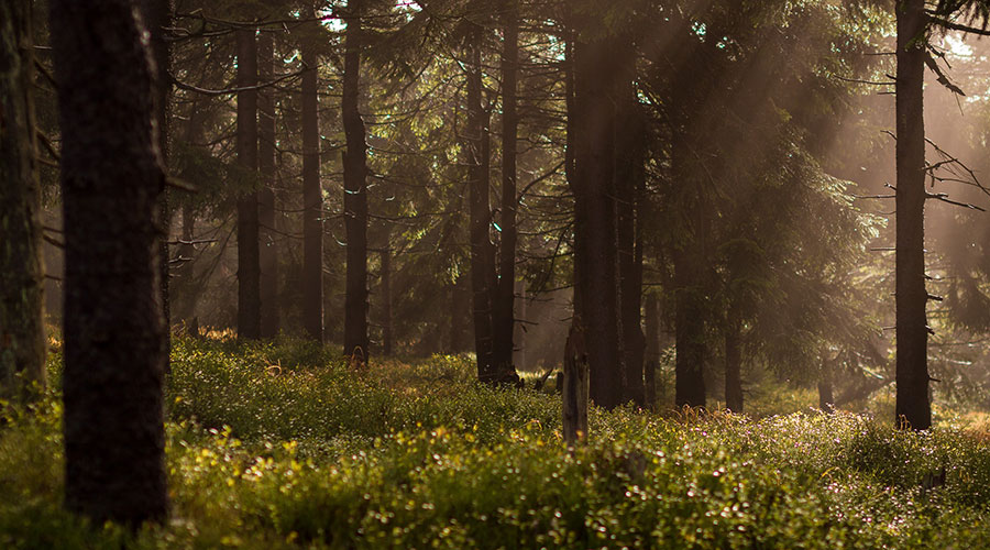 Photograph of a forest with sunlight coming through the canopy.